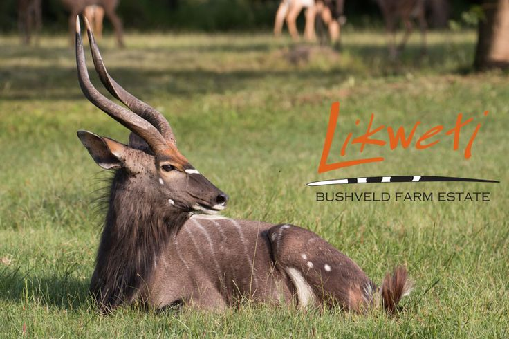What is your favourite antelope? We love the Nyala! Not so shy at Likweti, we are privileged to see them regularly.