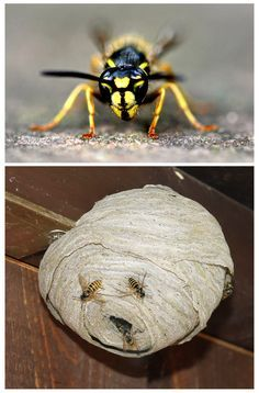 Bei Wespen muss man vorsichtig sein. Doch wenn man ein Wespennest entfernen oder umsiedeln will, muss man einiges beachten. Wir geben Tipps, wie man ein Wespennest entfernt.