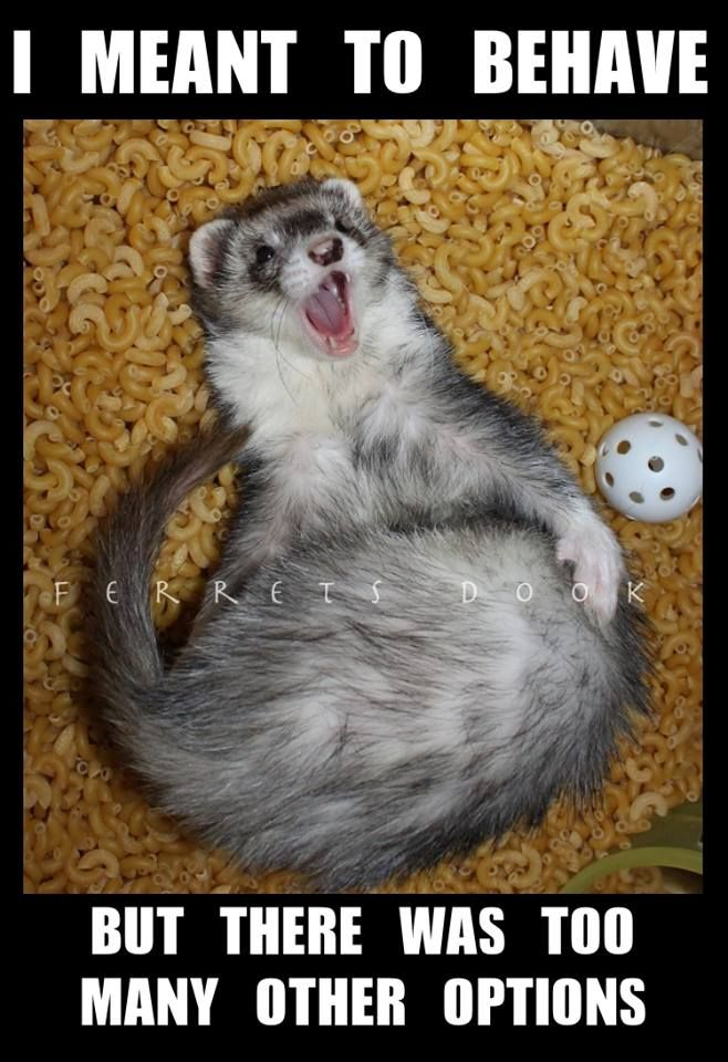 I really want a ferret but...?