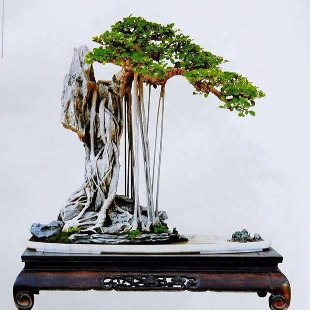 Amazing Incredible Bonsai... Did you see the trunk?