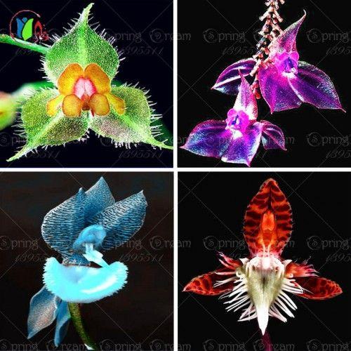 orkideèr rare