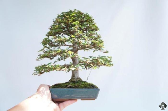 4 of our top 10 smallest bonsai trees shohin tree for Famous bonsai trees
