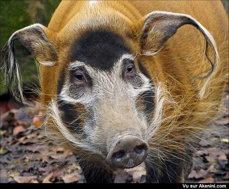 """cochon d'Afrique appelée """"Red River Hog"""" en anglais et """"Potamochère"""" en français. #Animaux #Etrange #Bizarre"""