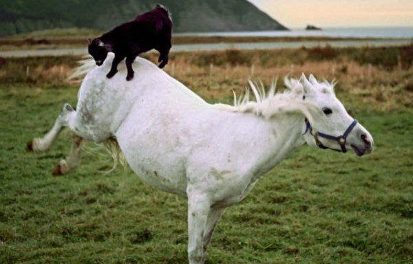 Rodeo Goat Rides a Horse (Video)
