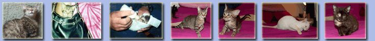 Info about feline herpes HOME treatments and over the counter products.