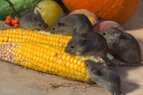 Como eliminar os ratos de casa