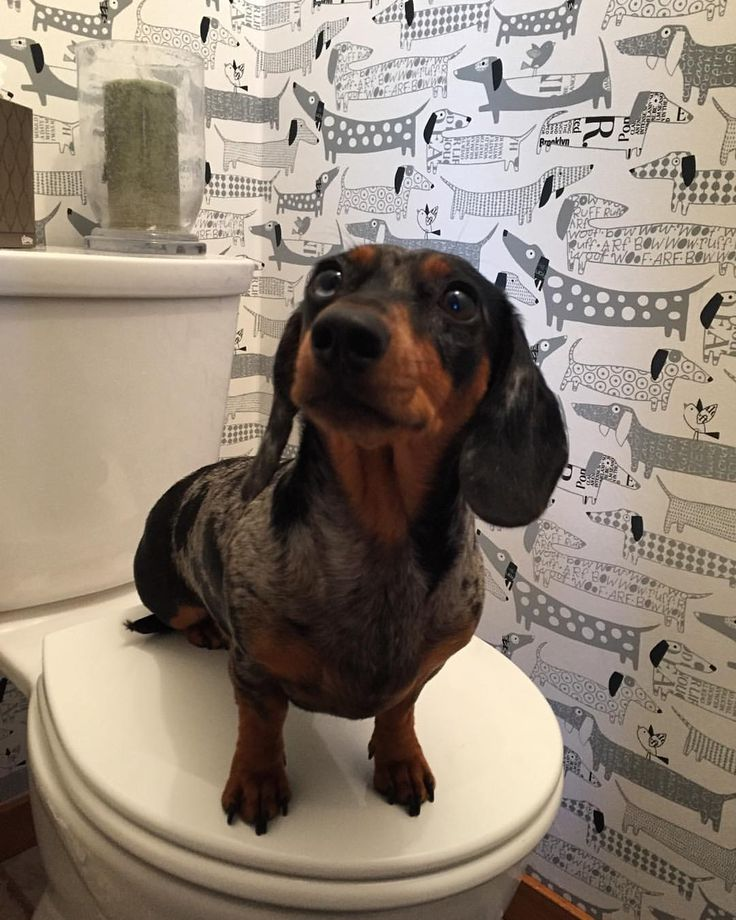 25 best ideas about wiener dogs on pinterest weiner pictures weenie dogs and weiner dogs. Black Bedroom Furniture Sets. Home Design Ideas