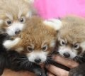 So stinking cute! Webcam of baby red pandas at the Knoxville Zoo!
