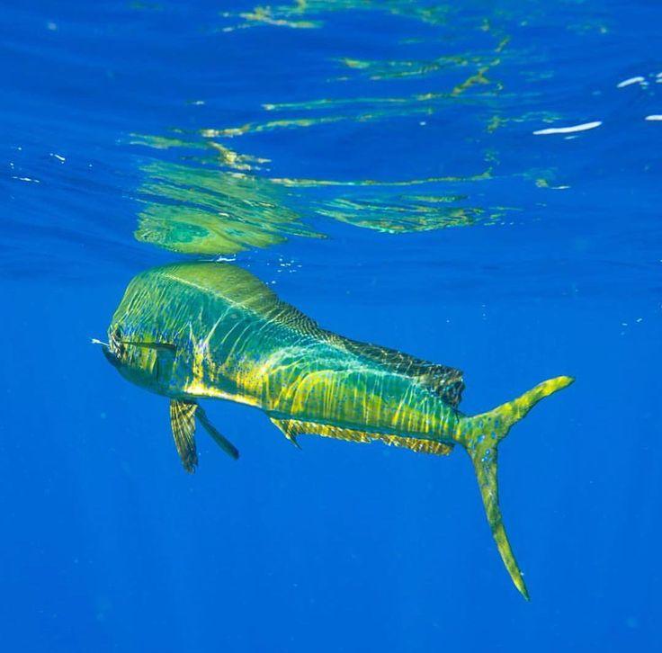 #Repost @dodgeocean with @get_repost  @earlybirdfishing puts me on a nice Bull #dolphin #mahimahi #mahi #kevindodge #photography #dodgeocean #oceanphotography #extreme #freediving ##backcountry #flats #billfish #swordfish #pelagic #fish #fishing #tijereta @tijeretafishingchannel