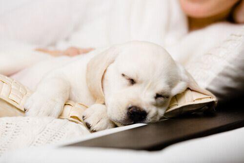 Levou um filhote de cachorro para casa e ele está sempre chorando? Temos algumas dicas para o ajudar! #pets #animais #cachorro #cães