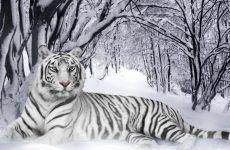 White Tiger Wallpapers Photo for HD Wallpaper Desktop 1920x1080 px 750.40 KB