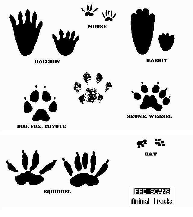 19 Awesome Raccoon Tracks Clipart Art Wallpaper Animal Tracks Wallpaper
