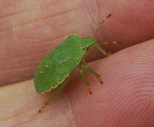 A Green Shield Bug