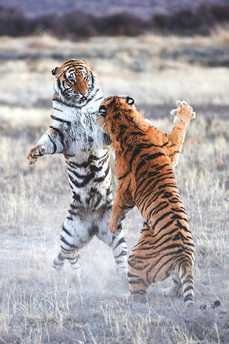 Tigers come face to face and slash each other with their claws. In a flash moment, the tigers fight for life or death.