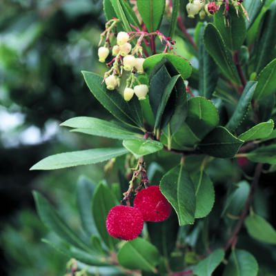 Strawberry tree: Puffy fruits the size of olives turn from yellow when young to red when mature. The fruits are borne at the same time as urn-shaped flowers among dark evergreen leaves. It requires moderate to minimal water.