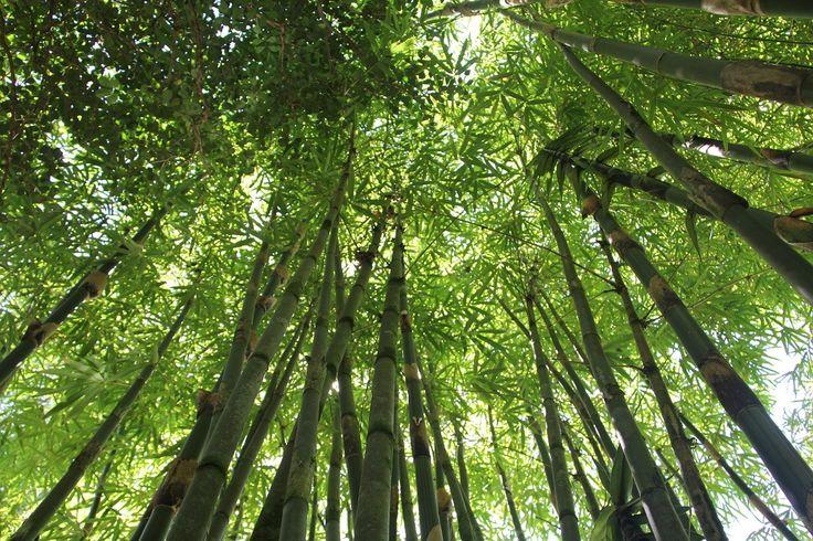 Jag har gått på att bambu är jättebra för miljön. Jag svalde argumenten för bambu, likt en hungrig panda på ett bambufält, utan att låta tanken gå ett varv till. För visst är det så att bambu växer...
