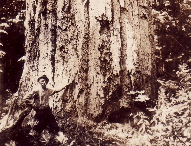 Pictured is the Mineral Tree, a Coast Douglas fir (Pseudotsuga menziesii var. menziesii) found in Mineral Washington. This tree was estimated to be 393 ft (119.78 metres) tall  by Dr. Richard E. McArdle in 1924. Many other huge Douglas-firs have been found, but this is the best example of what they can before if they are left to flourish. Sadly, the Mineral Tree was cut down for its lumber back in the 20s.> http://uwtreespecies.blogspot.co.uk/p/species-accounts.html