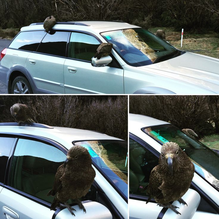 Just a few kea, casually trying to steal the car on the way into Milford Sound