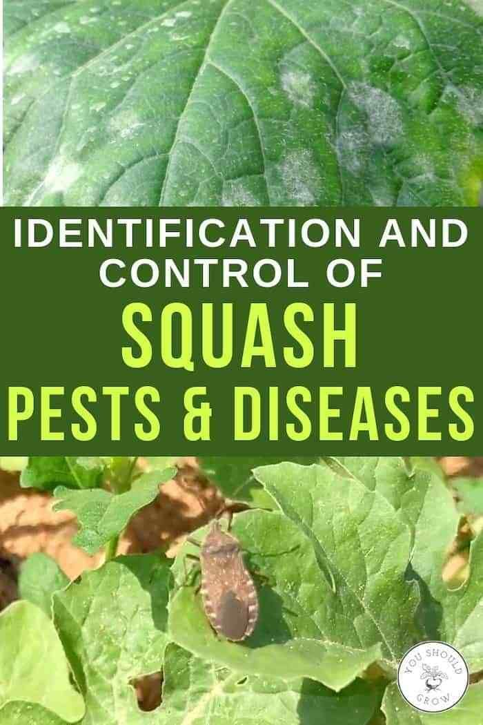 Get Rid Of Squash Bugs And Powdery Mildew Learn How Watermelon