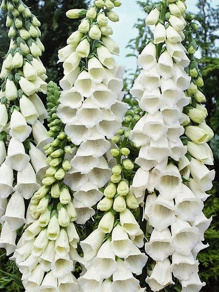 Digitalis Foxglove - Snow Thimble - Google Search