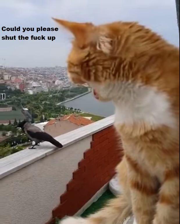 Kraaa Kraaa Meow Meow Funny Animals Animal Memes