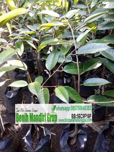 Jual Bibit Durian Bawor Unggul   Jual Bibit Tanaman Unggul