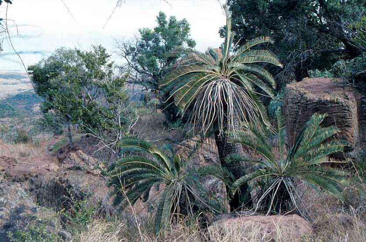Encephalartos  Lanatus                Olifants  river Cycad              Olifantsrivierbroodboom