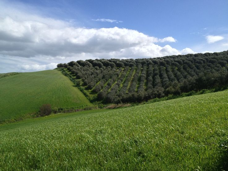 """Verde Infinito"". Our olive grove located in Calabria, on the Jonian Hills."