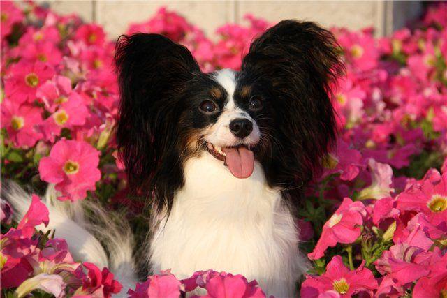 питомцы, кошки, собаки, как и у персидских кошек очень развиты гнойные выделения в области глаз.