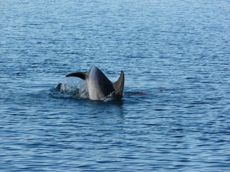Moko the legendary dolphin