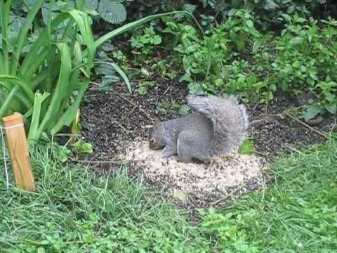Video for Cats - Squirrels. The first in a long list of cat approved videos.