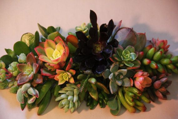 15 Succulent Cuttings by 5starsucculents on Etsy $8.99