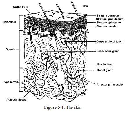 Diagram Of Integumentary System Diagram Of The Immune