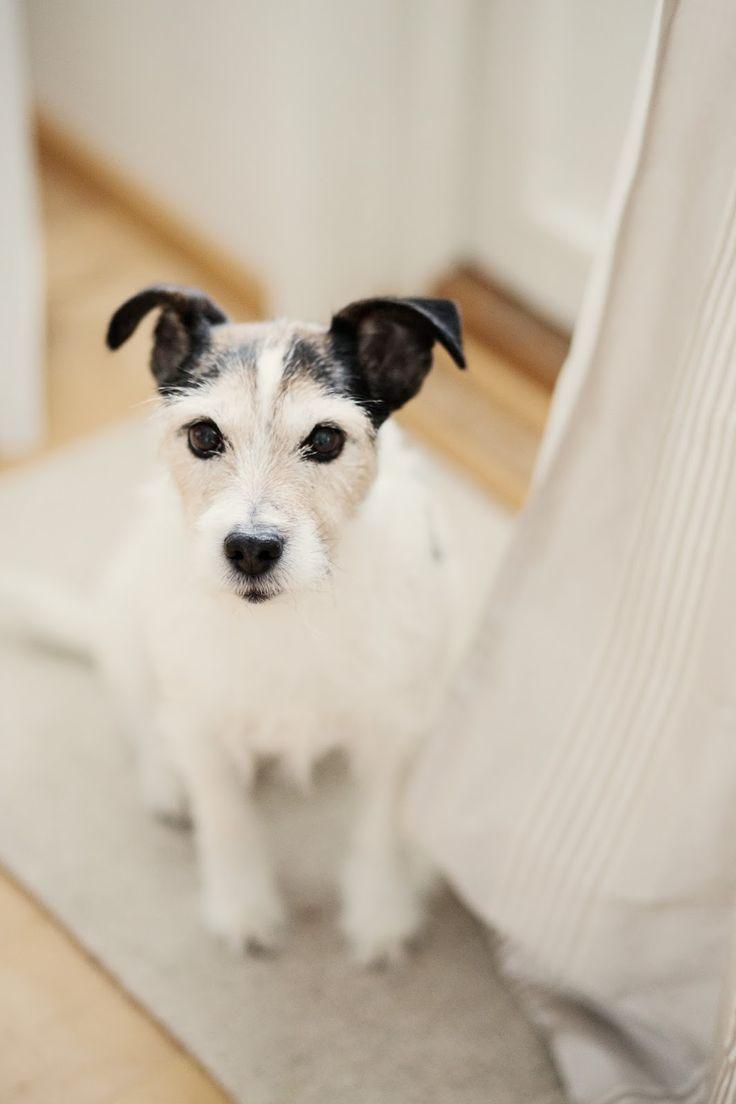 My cute dog, a Parson Russel Terrier #prt  http://skiglari-norppa.blogspot.com