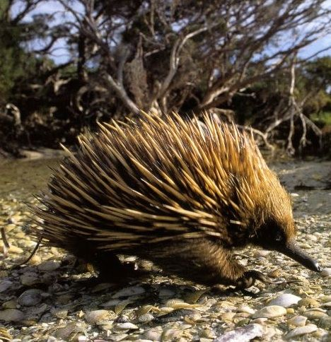 Echidna  The echidna is one of two egg-laying mammals in the world (the other is the famous duck-billed platypus). Though it looks a big hedgehog-like, this spiky creature is shy and non-confrontational.