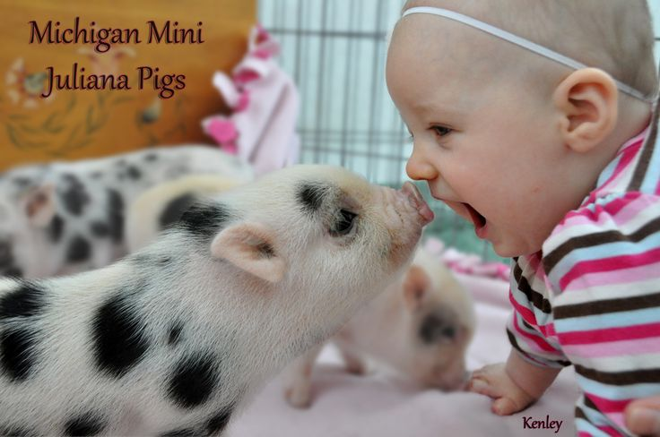 Michigan Mini Juliana Pigs is a very small hobby breeder of the smallest breed of pig- the Juliana. We have just one sow, one boar and only have one or two ...