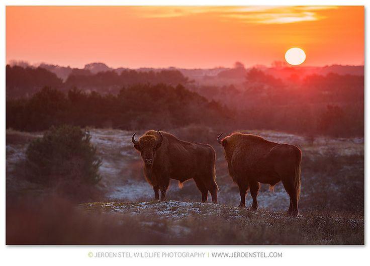 European Bison-Bison bonasus