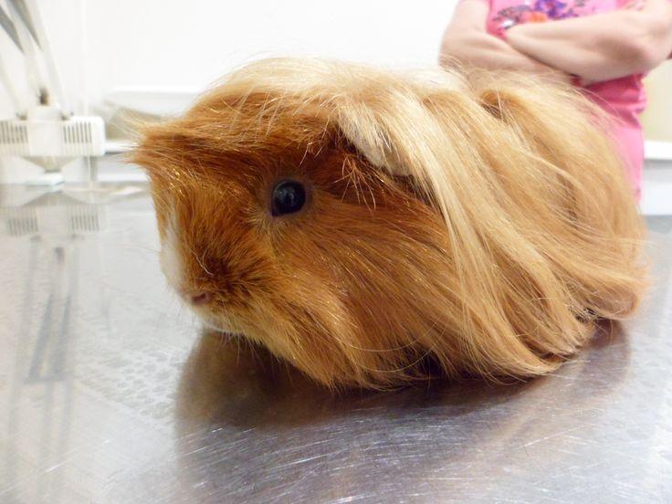 Cobaya de pelo largo