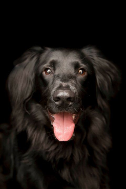 1000+ Images About Flat-coated Retrievers On Pinterest
