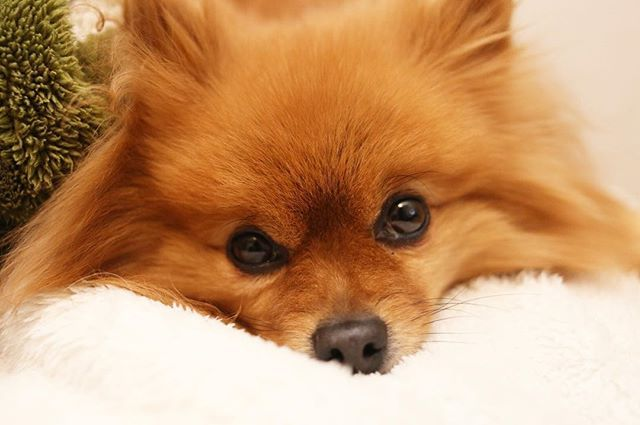 🐾 #こんにちは 🌞 . #ポメラニアン #ぽめ #犬 #わんちゃん #たぬき #愛犬 #ポメラニアンが世界一可愛い #犬バカ部 #ふわもこ部 #カメラ女子 #カメラ日和 #ファインダー越しの私の世界 #写真好きな人と繋がりたい #写真部 #写真撮ってる人と繋がりたい #犬好きな人と繋がりたい #ポメ部 #Canon #puppy #happy #pomeranian #pom #pomeranianworld #dog #Instadog #petstagram #tagsforlikes #멍스타그램 #개스타그램