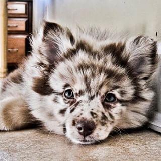 Aussiepom (Australian Shepherd + Pomeranian) |  OH SO CUTE! #Dogs #FurryFriends #Aussiepom