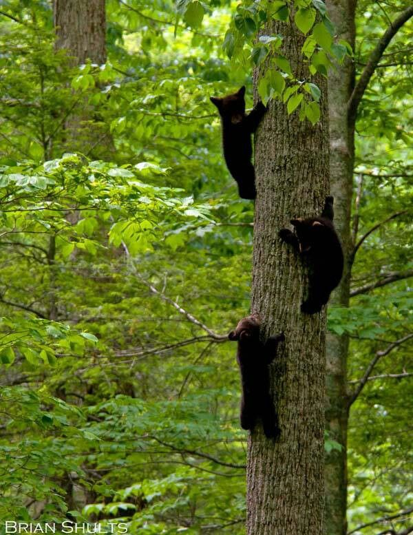 A great photo from Cades Cove via Brian Shults - Make sure to keep your distance as he did so the bears can keep their freedom.