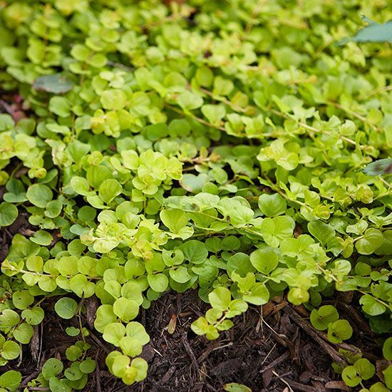 Creeping Jenny For a plant that grows just a few inches tall, creeping Jenny, Lysimachia nummularia, packs a big punch of color. This ground-hugging perennial sports bright chartreuse foliage that will quickly carpet any wet area. The plant forms new roots at each leaf node as the plant crawls across the ground, so it doesn't take long to spread through the garden. Creeping Jenny also develops small yellow flowers in the early summer. The leaves are the brightest when the plants are grown in…