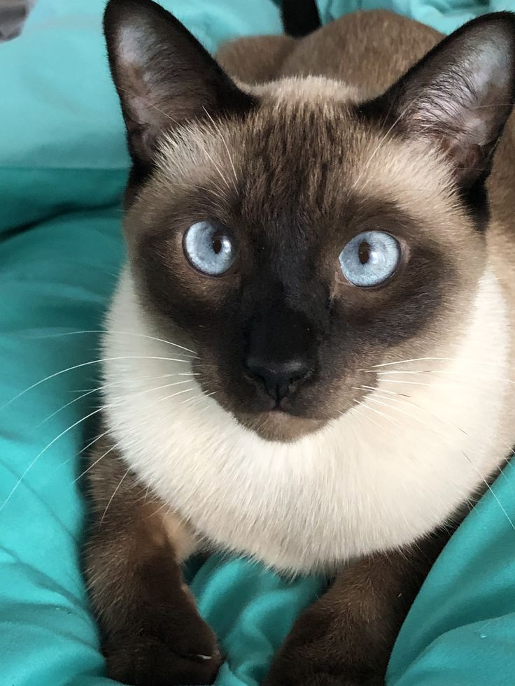 Latest Cost Free Siamese Cats For Sale Style Animaux Chat Chaton