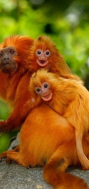 ~~ Golden Lion Tamarins  ~~ These are the tiniest monkies! I saw some at Zoo Atlanta and the adults are not even as big as my cat!