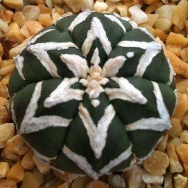 Simetría y asymetría fractal en la Naturaleza  http://cactomania.es/  fotos especiales Astrophytum asterias tipo V