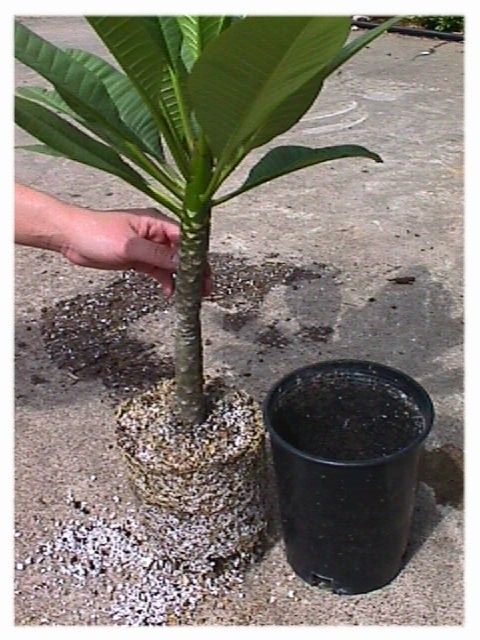 Plumeria Propagation, How To Root Plumeria Cuttings
