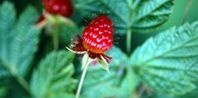 How to Top-Dress and Fertilize Raspberry Canes