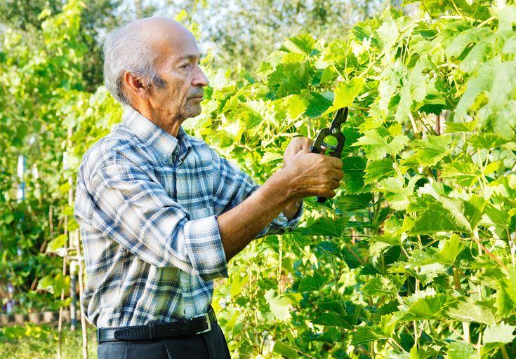 Beskärning av vindruva sker i hård ved på vintern och sedan trimmar man årsskotten på sommaren.