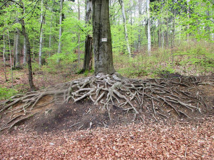 Kořeny stromu